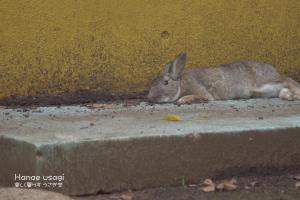 上野動物園のうさぎのシャープちゃん