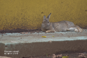上野動物園のうさぎのシャープちゃんの昼寝