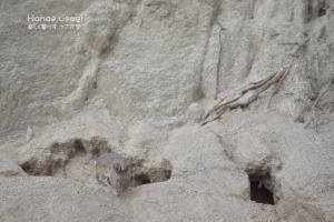 うさぎ島、巣穴から出てきたうさぎ