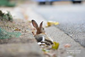ウサギ島のうさぎ、道のはじっこで寝る