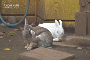 上野動物園のうさぎたち、仲良し