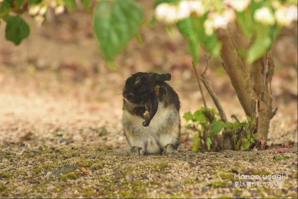 ウサギ島、雨宿りするうさぎ
