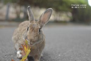 ウサギ島のうさぎ、スズカケノキの葉