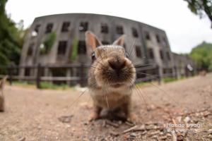 ウサギ島のうさぎと戦争遺跡