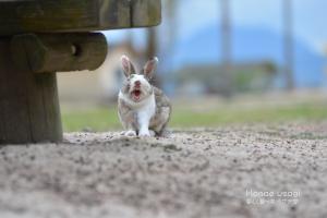 ウサギ島のうさぎのあくび