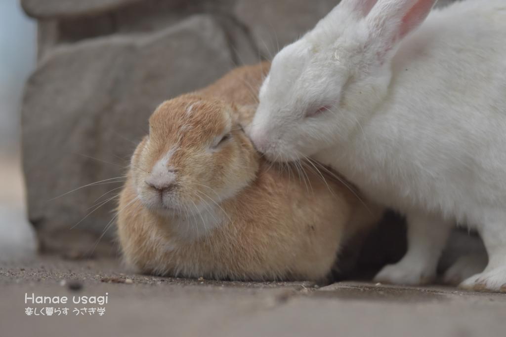 ウサギ島の友だちのうさぎ